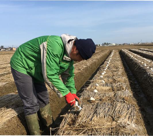 まだ寒さの残る3月、種芋の手植え