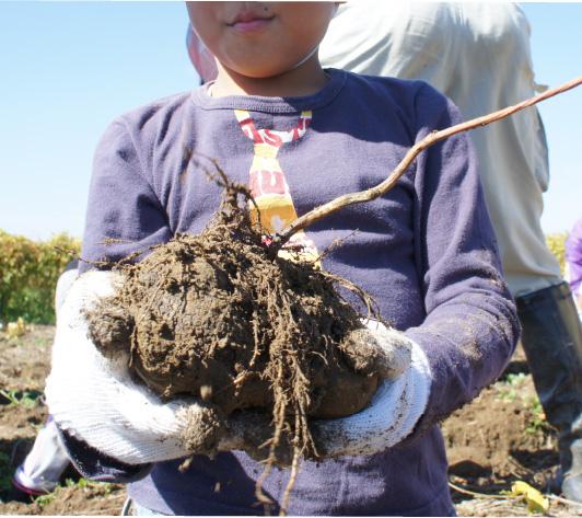 大きな「加賀丸いも」を掘り出した子供たち