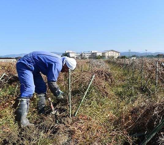 間もなく収穫作業が始まる澤田さんの畑
